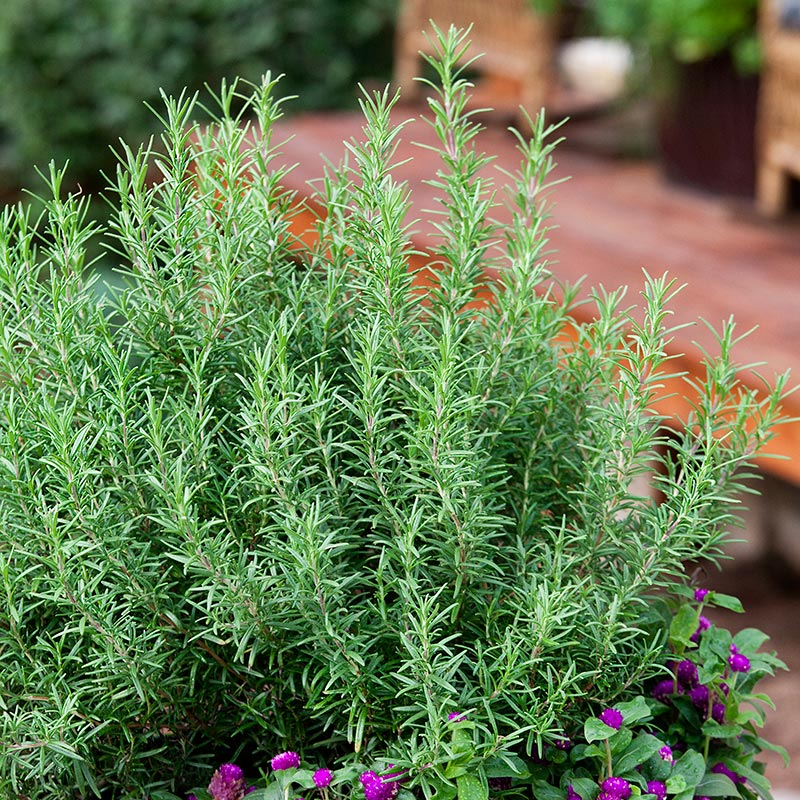 organic-rosemary-web